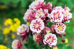 Lato kwiat znać jako babci ` s czapeczka Aquilegia i kolombina zdjęcie royalty free