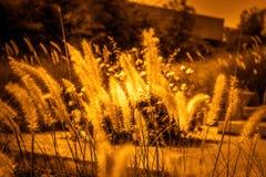 Lato kwiatonośna trawa w Czerwa świetle słonecznym i kwiatów gras, wygadującym Fotografia Royalty Free