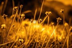 Lato kwiatonośna trawa w Czerwa świetle słonecznym i kwiatów gras, wygadującym Zdjęcie Royalty Free