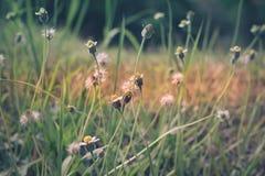 Lato kwiatonośna trawa w Czerwa świetle słonecznym i kwiatów gras, wygadującym Obraz Royalty Free