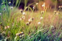 Lato kwiatonośna trawa w Czerwa świetle słonecznym i kwiatów gras, wygadującym Obrazy Royalty Free