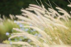 Lato kwiatonośna trawa w Czerwa świetle słonecznym i kwiatów gras, wygadującym Fotografia Stock