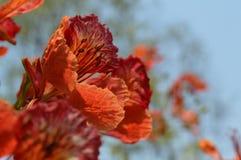 lato kwiatu krishnachura Zdjęcie Stock