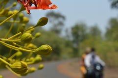 lato kwiatu krishnachura Zdjęcia Stock