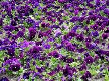 Lato kwiatu natury tło - śródpolny lawendowy lata pansie Zdjęcie Stock