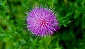 Lato Kwitnąć oset Ten roślina szczodrze daje swój odżywczym i leczniczym własność Obrazy Stock
