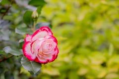 Lato kwitnie różowe róże na zielonym natury tle, selekcyjna ostrość kosmos kopii Świeży pączek kwitnie czerwieni menchia Obrazy Royalty Free