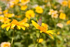 Lato kwitnie rumianków okwitnięcia na łące obraz royalty free