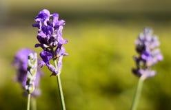 Lato lawendy kwiaty Obrazy Royalty Free