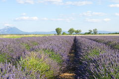 Lato lawendy pole w Provence, Francja Obraz Stock
