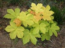 Lato liście klonowi obraz stock