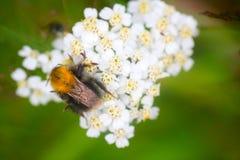 Lato Mamrocze pszczoła insekta kwiatu makro- Obraz Stock