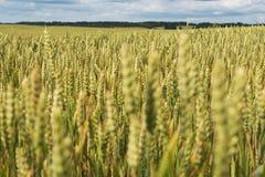 Lato na pszenicznym polu Fotografia Stock