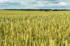 Lato na pszenicznym polu Fotografia Royalty Free