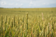 Lato na pszenicznym polu Obrazy Royalty Free