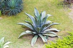 Lato obrazek z dużym jeden agava Obraz Royalty Free