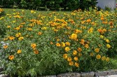 Lato ogród z Żółtym nagietkiem lub Tagetes Arden Wyprężającym kędzierzawym kwiatem w monasteru ogródzie, góra Bałkańska obraz stock