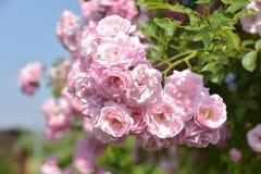 Lato Ogrodowe róże Obraz Stock