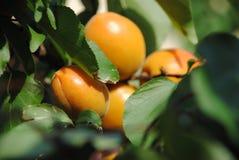 Lato owoc - morele dojrzewa na drzewie Obraz Stock