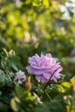 Lato piękne róże zdjęcie royalty free
