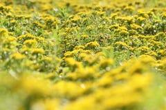 Lato piękny mały kolor żółty kwitnie w parku Fotografia Stock
