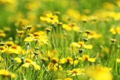 Lato piękny mały kolor żółty kwitnie w parku zdjęcia stock