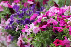 Lato piękni kwiaty Zdjęcie Royalty Free