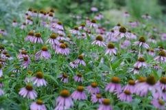 Lato, pole purpurowi kwiaty Obrazy Royalty Free