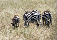 Lato posteriore della zebra Fotografia Stock Libera da Diritti