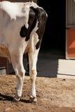 Lato posteriore di una condizione della mucca da latte dell'Holstein davanti al granaio o alla stalla fotografie stock libere da diritti