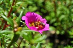Lato pszczoła 2 Fotografia Royalty Free