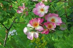 Lato róże Obrazy Royalty Free