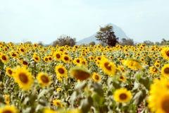 Lato słonecznika pole Pole słoneczniki z niebieskim niebem Słońce Obraz Royalty Free