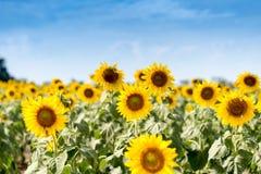 Lato słonecznika pole Pole słoneczniki z niebieskim niebem Słońce Fotografia Royalty Free