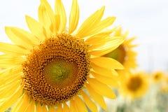 Lato słonecznika pole Pole słoneczniki z niebieskim niebem Słońce Obraz Stock
