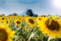Lato słonecznika pole Pole słoneczniki z niebieskim niebem Słońce Zdjęcia Stock