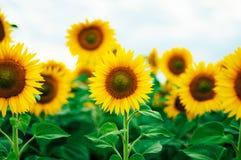Lato słonecznika pole Pole słoneczniki z niebieskim niebem Słonecznikowy pole przy zmierzchem Obrazy Royalty Free