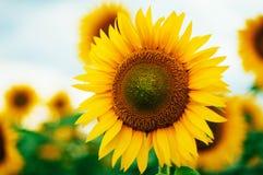 Lato słonecznika pole Pole słoneczniki z niebieskim niebem Słonecznikowy pole przy zmierzchem Zdjęcia Stock