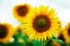 Lato słonecznika pole Pole słoneczniki z niebieskim niebem Słonecznikowy pole przy zmierzchem Fotografia Royalty Free