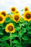 Lato słonecznika pole Pole słoneczniki z niebieskim niebem Słonecznikowy pole przy zmierzchem Obrazy Stock