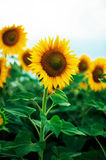 Lato słonecznika pole Pole słoneczniki z niebieskim niebem Słonecznikowy pole przy zmierzchem Obraz Royalty Free