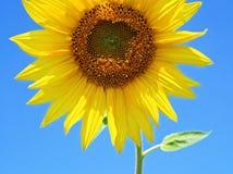 lato słonecznik Zdjęcia Royalty Free