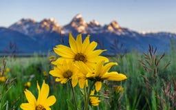 Lato słoneczniki Fotografia Stock