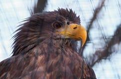 Lato serio del rght del ritratto di Eagle Immagine Stock