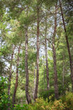 Lato sosny las Obrazy Royalty Free