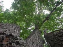 Lato strzelający Potrójny Dębowy drzewo Zdjęcie Stock