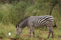 Lato-sulla zebra in natura Fotografie Stock