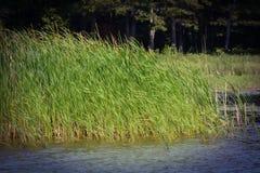 Lato trawy dmucha w wiatrze w jezioro zieleni błękitnym wietrznym dniu i Zdjęcia Stock