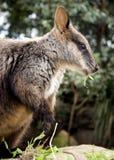 Lato-vista del Wallaby Immagini Stock Libere da Diritti