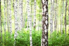 Lato w brzoza lesie Obraz Stock